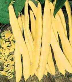 Високодобивен сорт зелен фасул