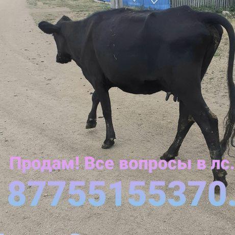 Продам  корову. Два отела                                            .