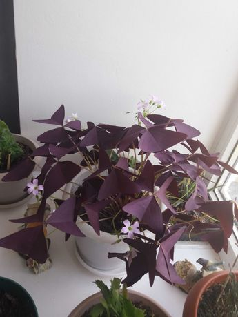 Цветок баттерфляй (кислица)