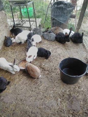 Vând 20 de iepuri la preț 1000 de lei