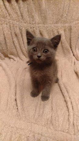 Отдаются чистокровные британские котята