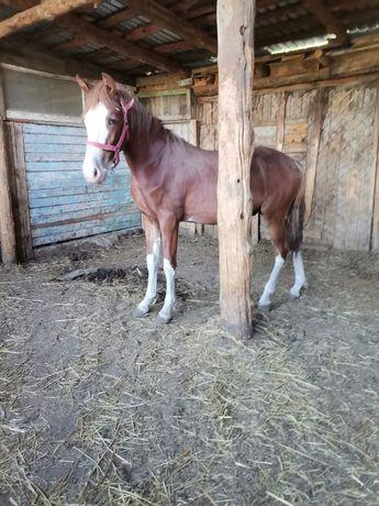 Продам откормленных лошадей
