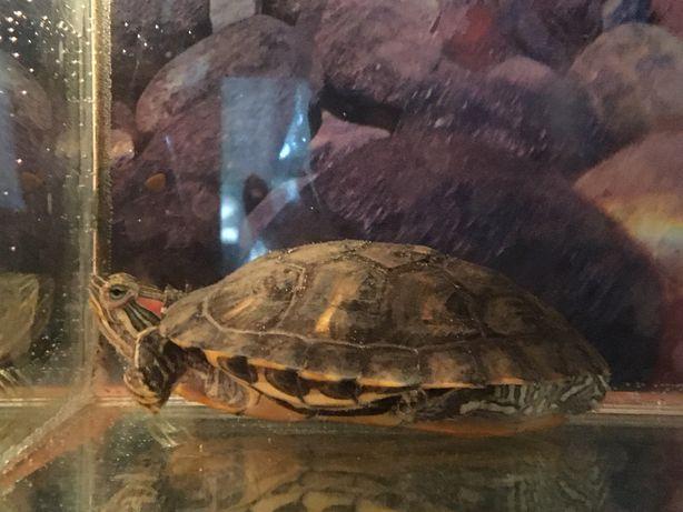 Красноухая  черепаха. Водяная