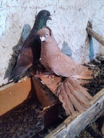Продам старопородных узбекских голубей