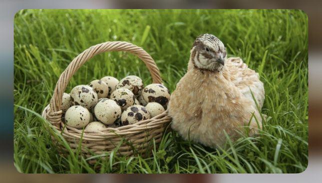 Перепелиные яйца , продам ОПТОМ перепелиное яйцо