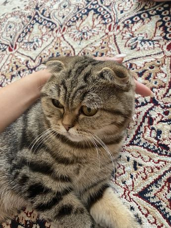 Породистая кошка, срочно, торг есть