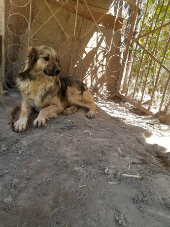 Собака алабай - төбет