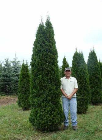 Poze reale ! Tuia 3m smaragd , columnaris , brabant , leylandii etc