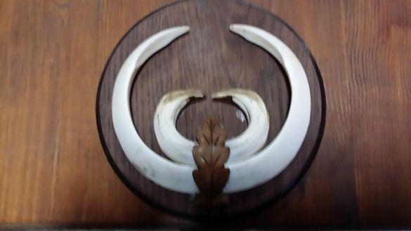 Дървена поставка от дъб за глиги –зъби от диво прасе 20 см..
