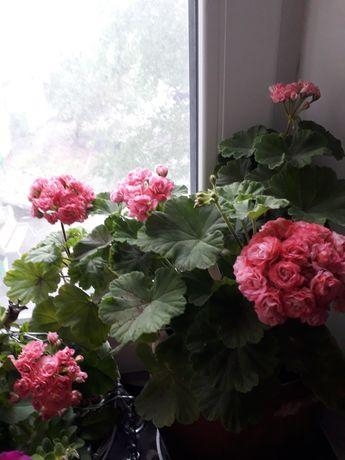 Герань розовая розочка