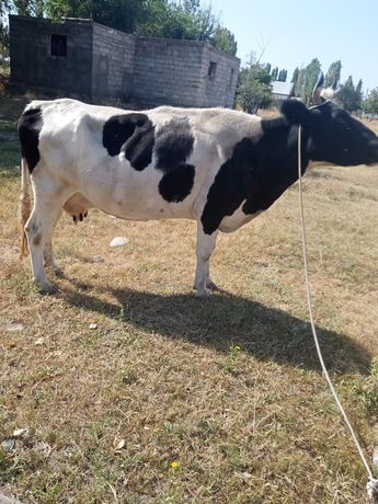Срочно продам дойный корова