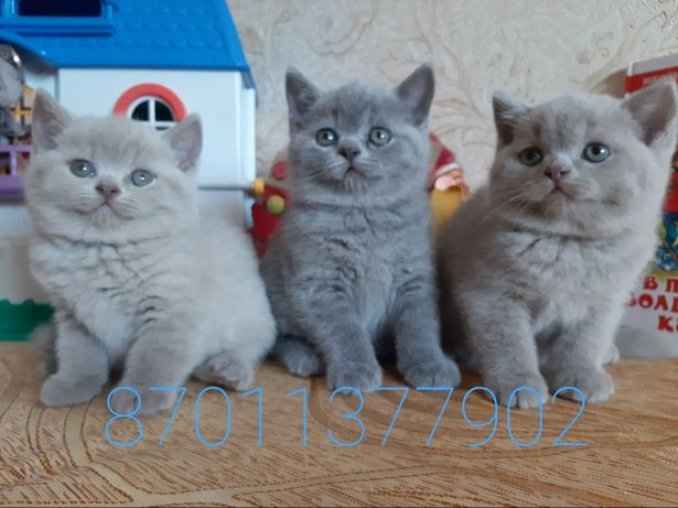 Продажа чистокровных британских котят
