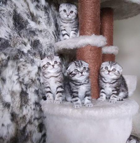 Мраморные Роскошные Котята