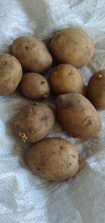 Продам картофель семеной