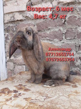 Продам кроликов молодняк породы Французский баран