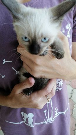 Сиамские котята ДАРЮ
