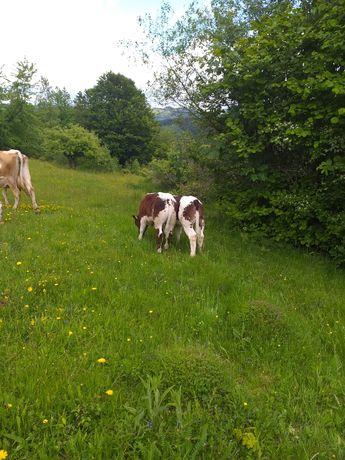 Vacă cu 2 viței