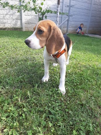 Beagle pui femela.