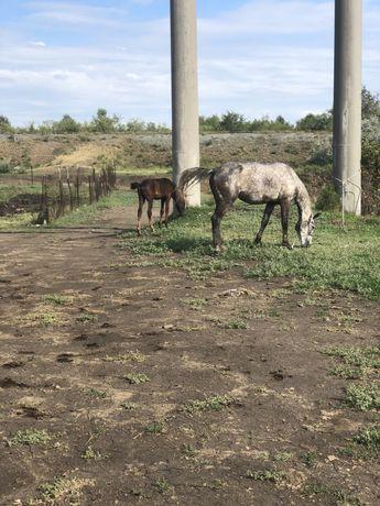 Обученная верховой езде лошадь с жеребенком