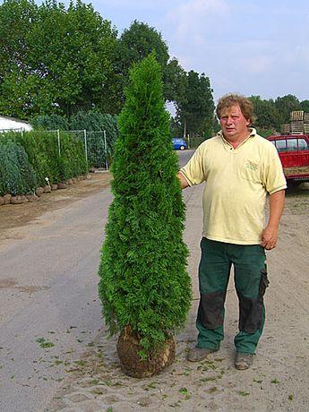 Tuia 1.8 - 2m / vand thuja smarald. Pepiniera de plante ornamentale