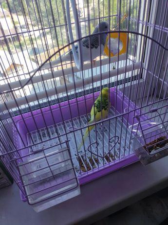 Попугайчики домашние