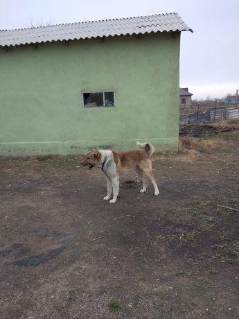 Собака (үй коруға,  дачаға)