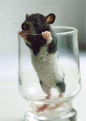 декоративные крысята