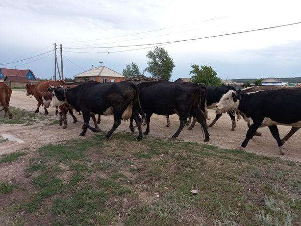 Коровы оптом крс. Телки, Телята, бычки! Продам Срочно!
