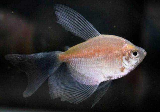 Рыбка Тернеция Белая