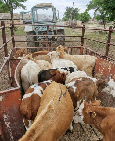 Продам КРС телята телки бычки коровы овцы козы жеребцы
