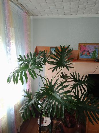 Продам большие комнатные растения
