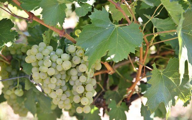 Struguri de vin Feteasca Riesling Merlot Aligote Ottonel, cu livrare