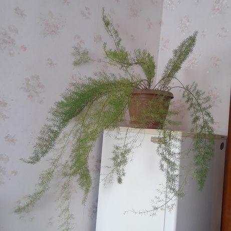 Продам домашний цветок - аспарагус