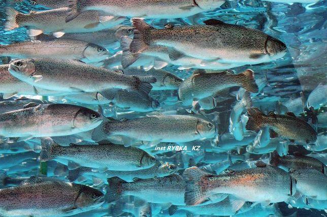 живая рыба форель балык