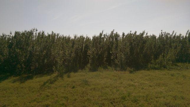 Vand biomasa din salcie energetica sub forma de snopi