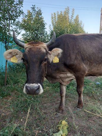 Продам Корову Сиыр сатамын