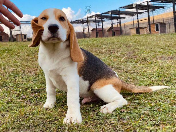 Vand pui Beagle 4 luni, din parinti American - Australian