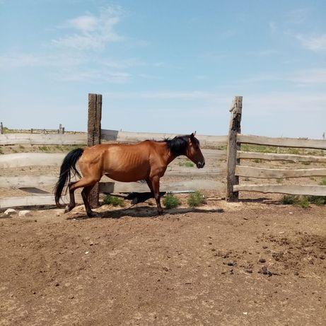 Биелер лошади, кобылы