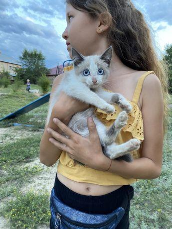 Котят в хорошие руки. Голубоглазые