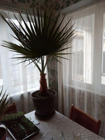 продава палма вашингтония