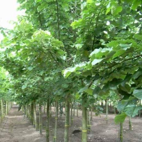 PEPINIERA Tei argintiu 4 - 5m - mesteacan - platan - magnolia - brad
