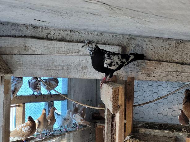 Porumbei voiajori negri, petrain