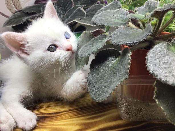 Котёнок британский 1,5 месяца