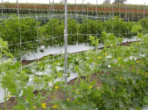 Plasa Sustinere Plante Cataratoare: mazare/Fasole/Castraveti/Rosii.