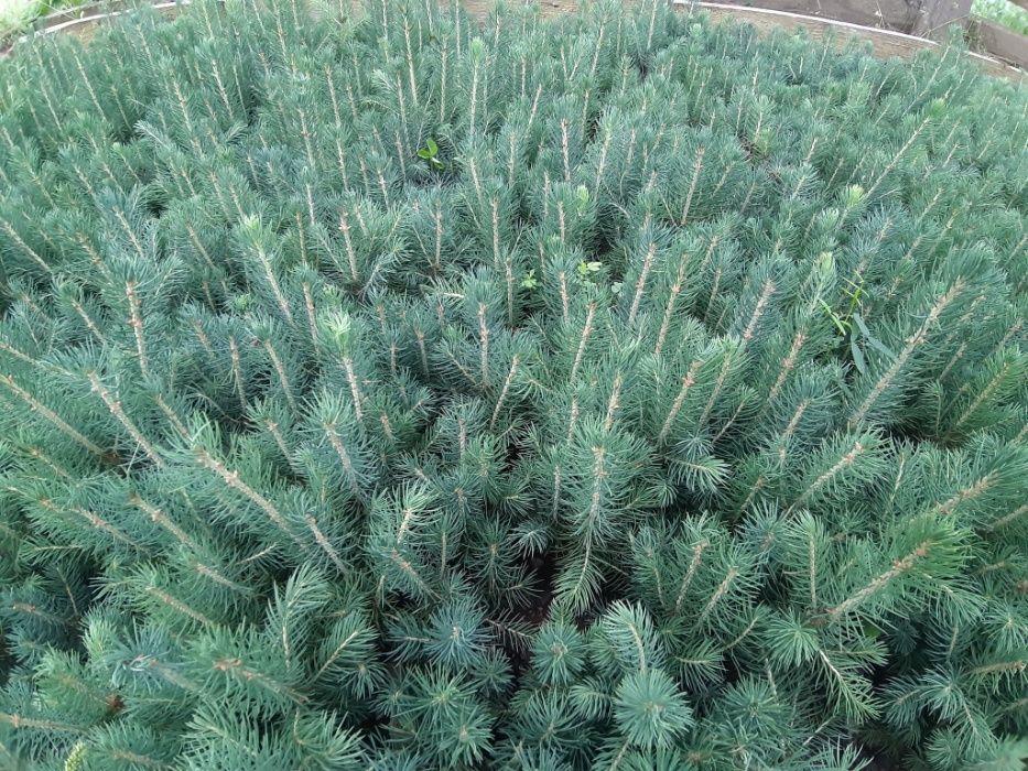 Puieti molid argintiu 3 ani de repicat-Picea pungens Glauca Kaibab