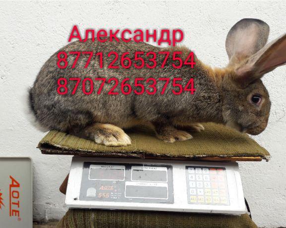 Продам кроликов молодых породы Фландер, Французский баран( окрас Мада