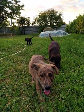 Ofer spre adopție 3 cățeluși lipicioși și drăgălași