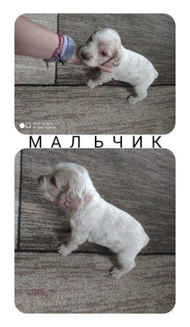 Продам щенков русского охотничьего спаниеля!!!