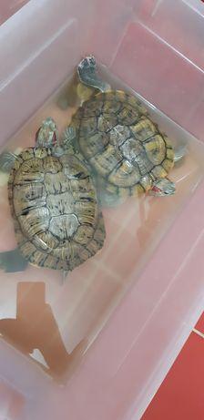 Домашние животные,красноухая черепахи