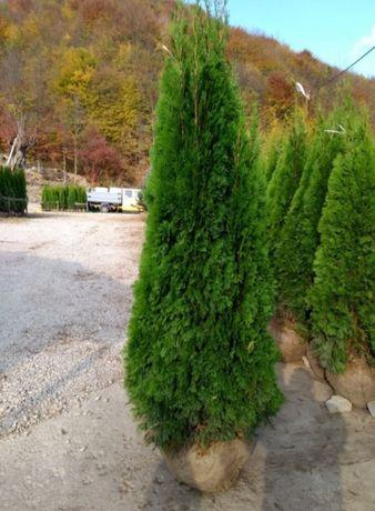 Tuia smaralgd 1m-3m / livrez la domiciliu și plantez gard viu .etc